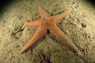 Seastar, (Astropecten aranciacus), Puolo Bay, Punta Campanella Marine Protected area, Costa Amalfitana / Amalfi coast, Italy, Tyrrhenian Sea, Mediterranean. October