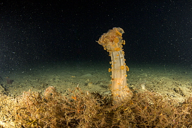 Actinia, (Alicia mirabilis) with tentacles withdrawn, Puolo Bay, Punta Campanella Marine Protected area, Costa Amalfitana / Amalfi coast, Italy, Tyrrhenian Sea, Mediterranean. October