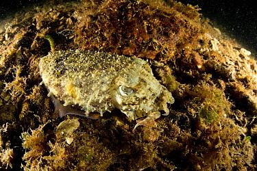 Common cuttlefish (Sepia officinalis), Puolo Bay, Punta Campanella Marine Protected area, Costa Amalfitana / Amalfi coast, Italy, Tyrrhenian Sea, Mediterranean. October