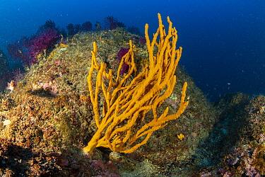 Tube sponge (Axinella cannabina), Vervece rock, Punta Campanella Marine Protected area, Costa Amalfitana / Amalfi coast, Italy, Tyrrhenian Sea, Mediterranean. October