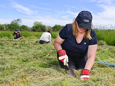 Wiltshire Wildlife Trust volunteers planting Devil's bit scabious (Succisa pratensis) plant plugs in a mown patch of a formerly farmed meadow to provide food for caterpillars of the Marsh fritilla...