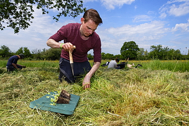 Wiltshire Wildlife Trust volunteer using a dibber to create holes for planting Devil's bit scabious (Succisa pratensis) plant plugs in a mown patch of a formerly farmed meadow to provide food for...