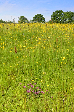 Formerly farmed meadow with a clump of flowering Red clover (Trifolium pratense) and dense stands of Meadow buttercups (Ranunculus acris) surrounded by mature hedgerows and English oak trees (Quercus...