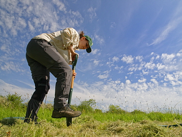 Wiltshire Wildlife Trust volunteer digging a hole in a mown patch of a formerly farmed meadow, before planting a Devil's bit scabious (Succisa pratensis) plant plug to provide food for caterpillar...