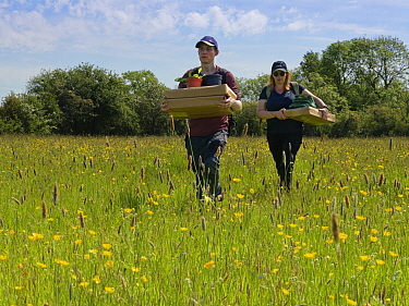 Wiltshire Wildlife Trust volunteers carrying trays of Devil's bit scabious (Succisa pratensis) plant plugs for planting in a formerly farmed meadow to provide food for caterpillars of the Marsh fr...