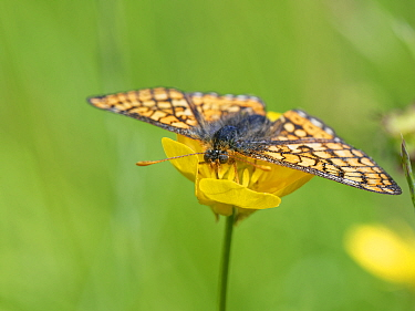 Marsh fritillary butterfly (Euphydryas aurinia) nectaring on a Meadow buttercup (Ranunculus acris) flower in a chalk grassland meadow, Wiltshire, UK, June.