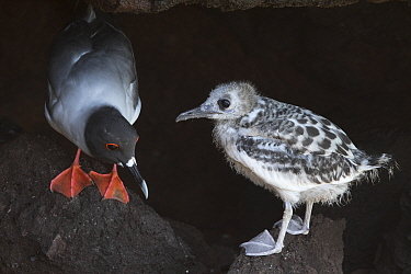 Swallow-tailed gull (Creagrus furcatus) adult and chick, San Cristobal Island, Galapagos