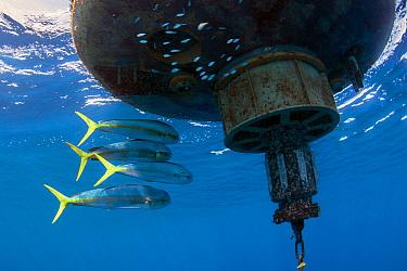 Mahi mahi / Common dolphinfish (Coryphaena hippurus). Tenerife, Canary Islands.