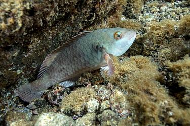 Parrotfish (Sparisoma cretense) male sleeping at night. Tenerife, Canary islands.