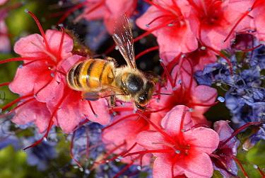 Honeybee (Apis melifera) Tajinaste rojo (Echium wildpretii), Teide National Park, UNESCO World Heritage Site. Canary Islands. Endemic.
