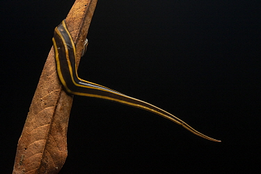 Portrait of a flatworm (Pseudogeoplana) on a dead leaf at night, Mindo, Ecuador.