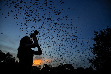 Teenage girl photographs Mexican free-tailed bats (Tadarida brasiliensis) as they emerge from Bracken Cave at sunset. Bracken, Texas, USA.