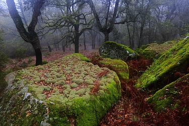 Lichen (Cladonia rangiformis) Los Alcornocales Natural Park, Andalusia, southern Spain. March