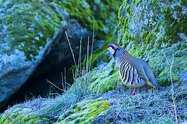 Red-legged partridge (Alectoris rufa), Sierra de Andujar, Andalusia, Spain. January.