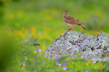 Thekla's lark (Galerida theklae)perched on rock, Grazalema, Andalusia, Spain, May.