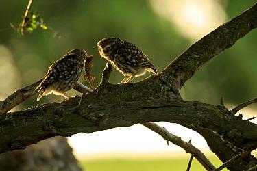 Little owl (Athene noctua) male offers prey to female, Cadiz, Andalusia, Spain, April