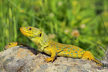 Ocellated or jewelled lizard (Timon lepidus) basking on rocks, Los Alcornocales Natural Park, Andalusia, Southern Spain. May.