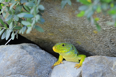 Ocellated / Jewelled lizard (Timon lepidus) on rocks, Los Alcornocales Natural Park, Andalusia, Southern Spain. May.