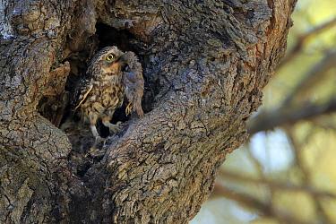 Little owl (Athene noctua) with prey (House sparrow), Cadiz, Andalusia, Spain, April