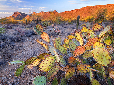 Prickly pear cactus (Opuntia engelmanni) stressed and dying as a result of drought, Tucson Mountains in evening light, Saguaro National Park, Arizona 2021