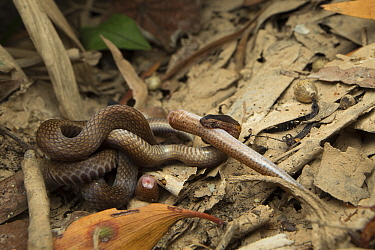 Northern dwarf crowned snake (Cacophis churchilli) grappling with and eventually feeding on the tail of a skink (Glaphyromorphus sp.) after a battle which concluded when the skink shed its tail and ma...
