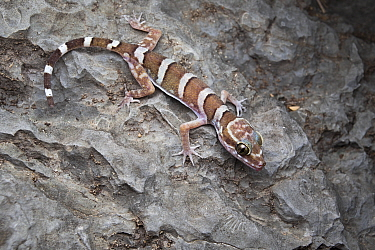 Inland ring-tailed gecko (Cyrtodactylus macdonaldi) on limestone deposit containing fossils, Chillagoe, north Queensland, Australia, May.