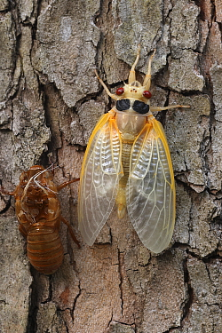 17 year Periodical cicada (Magicicada septendecim) teneral adult Brood X cicada, shortly after molting with exuvia, Maryland, USA, June 2021