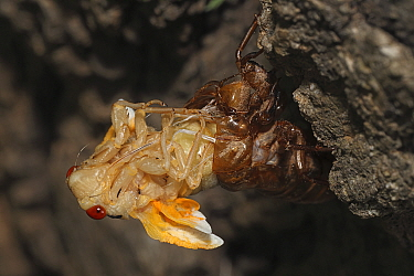 17 year Periodical cicada (Magicicada septendecim) larva molting with teneral adult emerging. Brood X cicada. Brood X Cicada. Maryland, USA, June 2021