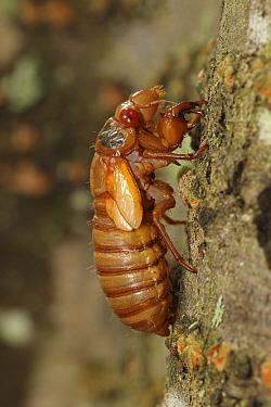 17 year Periodical cicada (Magicicada septendecim) recently emerged larva. Brood X Cicada. Maryland, USA, June 2021