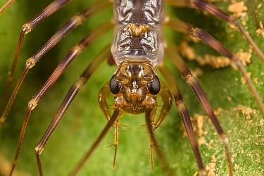 House centipede (Scutigeridae) hunting on rainforest understory vegetation at night. Danum Valley, Sabah, Borneo.