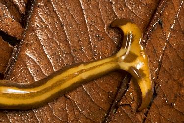 Hammerhead flatworm (Geoplanidae), Danum Valley, Sabah, Borneo.