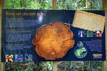 Information board about endemic Rimu tree (Dacrydium cupressinum) Maungatautari sanctuary, New Zealand. July 2019