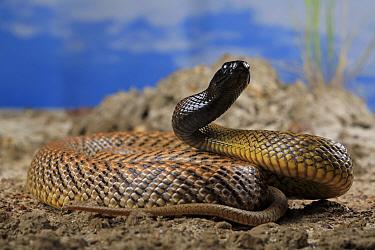 Inland taipan (Oxyuranus microlepidotus) female snake, Captive bred specimen.