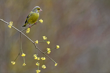 Greenfinch (Carduelis Chloris) perched on branch in winter, Lorraine, France, March