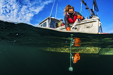 Researcher Hailey Davies uses Downrigger and action camera to monitor the lowering of a tiger rockfish (Sebastes nigrocinctus) for a study on fish barotrauma, whereby the gases in a fish expand as it...