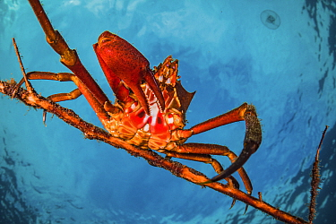 Northern kelp crab (Pugettia producta) clinging to a fallen tree branch off Vancouver Island, British Columbia, Canada.