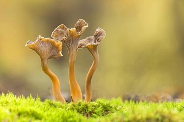 Wavy-capped / sinuous chanterelle (Pseudocraterellus undulatus), Rhodope Mountains, Bulgaria. October.