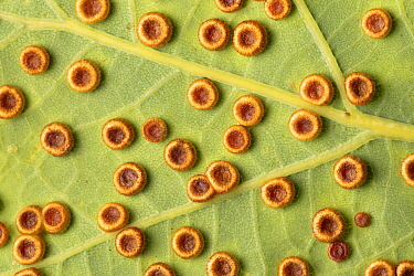 Galls of the Silk Button gall wasp (Neuroterus numismalis) on the underside of an oak leaf. A single wasp will emerge from each gall. Neuroterus numismalis has two generations per year, the first sexu...