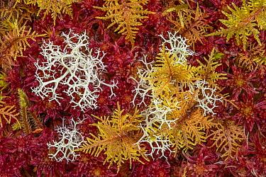 Commuity of mosses predominately red Sphagnum Moss (Sphagnum sp.), with Reindeer Lichen (Cladonia sp.) growing alongside, in blanket bog. Glen Affric, Scotland, UK. October. Focus stacked image.