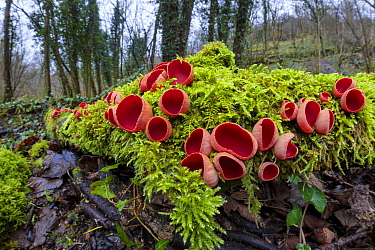 Scarlet Elf Cup fungus (Sarcoscypha coccinea) growing on moss-covered fallen tree. Lathkill Dale SSSI, Peak District National Park, Derbyshire, UK. January.