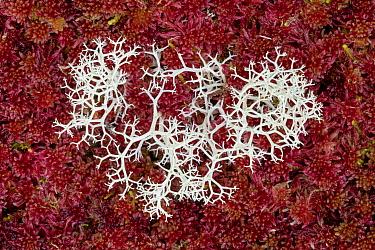 Reindeer lichen (Cladonia sp.) growing through Sphagnum moss (Sphagnum sp.) in blanket bog. Glen Affric, Scotland, UK. October. Focus stacked image.