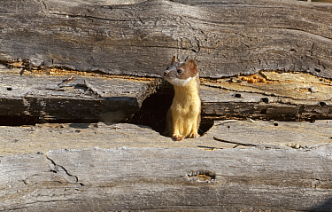 Long-tailed weasel (Mustela frenata) hunting in fallen tree trunk Yellowstone National Park, Wyoming, USA