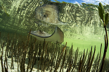 A Southern stingray (Hypanus americanus) glides over the aerating roots of a mangrove forest, Bimini, the Bahamas.