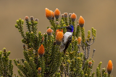 Male Ecuadorian hillstar (Oreotrochilus chimborazo) drinking nectar from the Flower of the Andes (Chuquiraga jussieui). This hummingbird feeds perched on its food-plant rather than by hovering, and so...