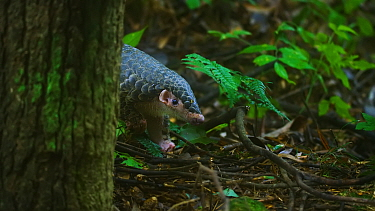 Rescued Chinese pangolin (Manis pentadactyla) . A series of conservation efforts are underway to save the last remaining wild populations in China