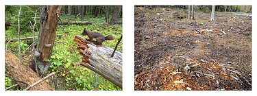 Red squirrel in old forest next to photo of same forest after logging, Viken, Norway