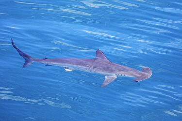 Scalloped hammerhead shark (Sphyrna lewini) at surface, off Baja , Mexcio