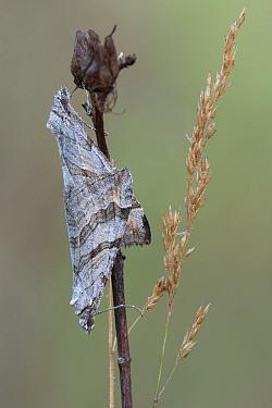 Treble bar moth (Aplocera plagiata), pair mating, Klein Schietveld, Brasschaat, Belgium