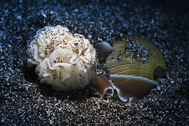 Rose petal bubble shell (Hydatina physis) is gathering and arranging freshly secreted eggs on its mantle, prior to attaching the completed egg mass to the sand with a mucous thread, Kanagawa, Japan.