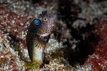 Blenny (Neoclinus bryope) male has just darted out from its hole to scan for passing prey. Kangawa, Japan.